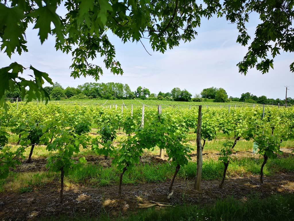 vignes armagnac