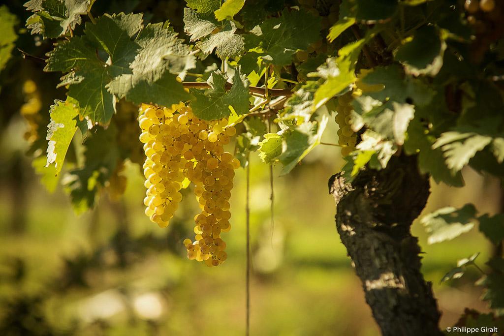 Vigne de raisins blancs dans le Gers