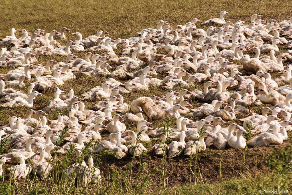 Les volailles du Gers, ici des oies à Montesquiou